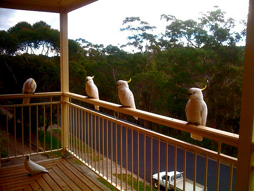 cockatoos on porch