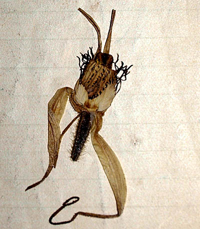 Violet Taylor pressed spider orchid