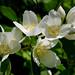 Philadelphus lewisii ssp. californicus 'Marjorie Schmidt' #2
