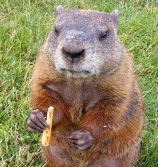 A Visit with Mr Groundhog (FrogBum) Tags: park animal bicycle metro michigan groundhog pretzel detroitmichigan metroparks huronclintonmetroparks harrisontwp huronclinton metrobeachpark