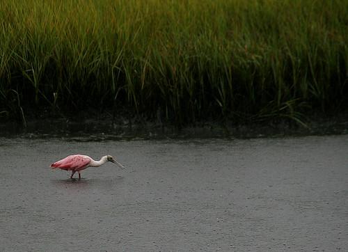 Roseate Spoonbill in the Rain