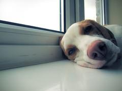 Pifer snoozing (chrisgannon) Tags: pink dog pet cute beagle window puppy nose sill sleep snooze gtv pifer gannontv