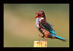 Dancing kingfisher (mohammad khorshid (boali)) Tags: white bird birds canon wildlife birding kingfisher kuwait osk q8 mohd  kwt throated   14tc whitethroated 600mm    khorshed 40d    kwvc