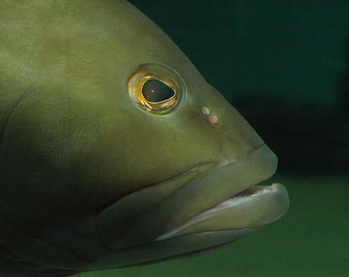Clearwater Marine Aquarium: Grouper