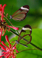 See through wings are so in this season (10000 wishes) Tags: red flower green nature leaves butterfly nikon seethrough glasswings d40x