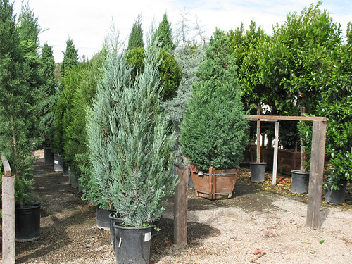 junipers in various shapes