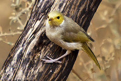White-Plumed Honeyeater (WilliamBullimore) Tags: wild bird nature fauna wings eyes au beak feathers australia treetrunk trunk claws kingscanyon northernterritory whiteplumedhoneyeater lichenostomuspenicillatus