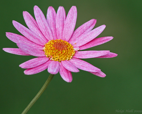 Pink Flower by visiticeland@hotmail.com.