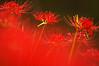 Red Spider Lilies (h orihashi) Tags: flowers flower nature japan searchthebest pentax hiroshima harmony 日本 花 soe breathtaking nationalgeographic musictomyeyes aphoto aclass 広島 k7 supershot bej flickrsmileys mywinners abigfave royalgroup diamondheart platinumphoto anawesomeshot colorphotoaward impressedbeauty flickrhearts ultimateshot flickraward crystalaward diamondclassphotographer flickrdiamond flickrbronzeaward excellentphotographerawards heartawards theunforgettablepictures diamondstars eperkeaward overtheexcellence colourartaward macromarvels justpentax everydayissunday goldstaraward flickrestrellas cherryontopphotography peaceawards spiritofphotography rubyphotographer damniwishidtakenthat grouptripod doubledragonawards colorphotoawardpremier artofimages dragonflyawards platinumpeaceaward pentaxk7 highqualityimagesaward