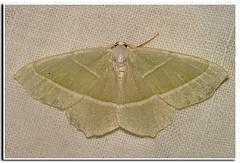 Light Emerald -  Appeltak - Campaea margaritata (henk.wallays) Tags: light green groen emerald spanner nachtvlinder campaea emeral margaritata appeltak