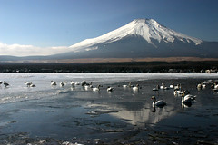 Swans Bathing in Mt Fuji Reflection (AJ Brustein) Tags: winter lake snow reflection ice birds japan swim aj frozen swan fuji mt january  fujisan  mtfuji yamanashi yamanaka   brustein  topseven theunforgettablepictures platinumheartaward tup2 worldwidelandscapes