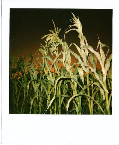polaroid at the corn field