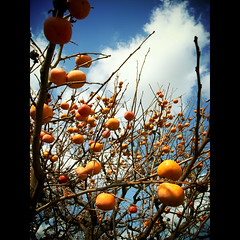(shotam) Tags: blue autumn orange snap explore persimmon   grdigital ricoh 2009 asuka   grd asukavillage asukamura  pentacom grd2 toycamera34plugin