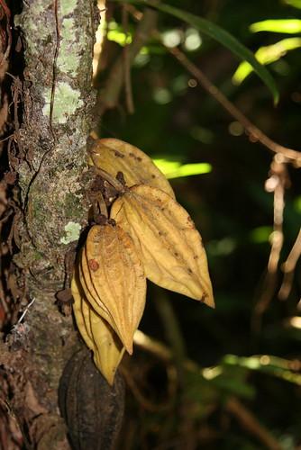 Herrania sp. (Malvaceae)