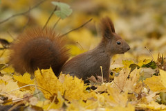 Scouting the land (csabatokolyi) Tags: autumn leaves yellow squirrel budapest redsquirrel margitsziget sciurusvulgaris mkus