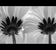 Filtered Light (.MARTINE.) Tags: bw flower macro petals hips gerbera blaadjes 60mm martine bloem zw canoneos40d flickrgolfclub clanflickr adifferentpov
