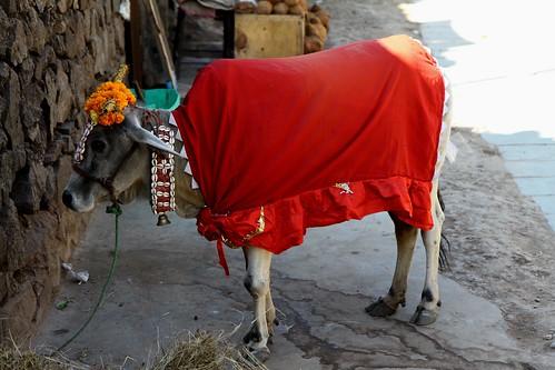 Low 2009-11-20 Champaner - Kalika Mata Mandir 02 - Holy Cow