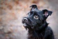 Bruno (Kerli'sPhotography) Tags: dog cute adorable blackdog mixedbreed puppyeyes