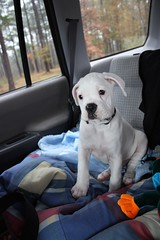 (Danielle A. Davey) Tags: dog baby white cute puppy sweet adorable boxer 8weeks whiteboxer
