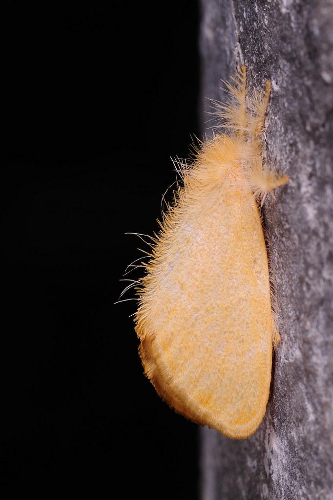 台灣黃毒蛾 Porthesia taiwana