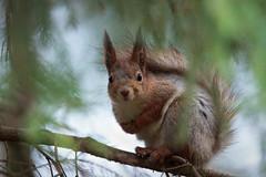 Red Squirrel - Sciurus vulgaris (L.Mikonranta) Tags: red nature canon eos is squirrel 300mm ii 7d l orava usm jyvskyl f28 ef extender vulgaris 14x 420mm sciurus canonef300mmf28lisusm canonefextender14xii canoneos7d