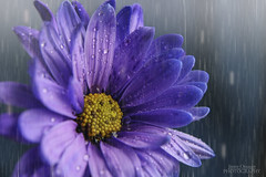 Purple Rain (Jenny Onsager) Tags: flowers rain canon purple mums waterdroplets purplerain purpledaisy mygearandme mygearandmepremium mygearandmebronze mygearandmesilver mygearandmegold mygearandmeplatinum jennyonsager infinitexposure