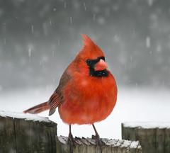 diane metz (dmetz photography-Creationsbyds) Tags: beautiful malecardinal snowyday cranford nj dianemetz winter