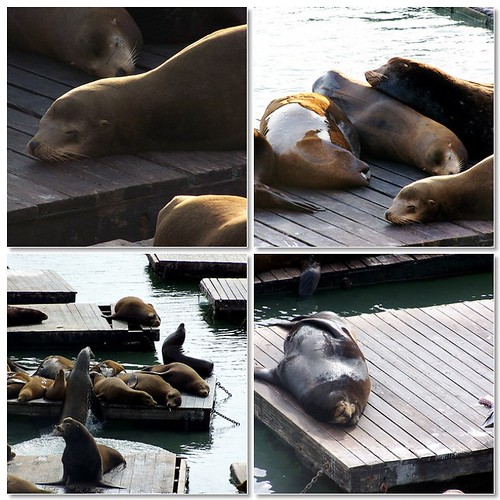 SF Sea Lion photos