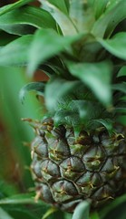 Maturing Beauty (John 3000) Tags: pineapple fruta fruit pia    plants sanfranciscoconservatoryofflowers sanfrancisco california sf ca hothouse greenhouse museum