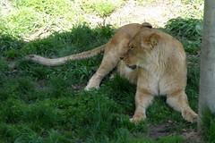 Niabi Zoo (Tiger_Jack) Tags: animals zoo bigcat lions exoticcats bigcats zoos quadcities exoticcat coalvalley niabizoo itsazoooutthere zoosofnorthamerica flickrbigcats