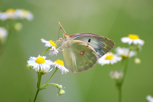 Eastern Pale Clouded Yellow