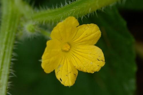Kiwano | mannelijke bloem - male flower