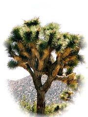 *joshua beauty (dagutzyone ) Tags: joshuatree tree joshua nature saveearth flickrhappy konicaminoltadimagez6 morongobasin california scenery dagutzyone gramparsons charlesmanson mojavedesert yuccavalley yucca valley