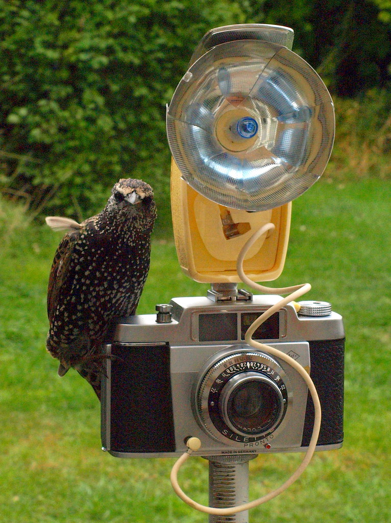 Agfa Silette and the starling