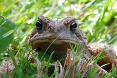 """""""Who's aToad ?!"""" (judymocha (off and on for a while)) Tags: ontario nature fauna cottage amphibian toad d80"""