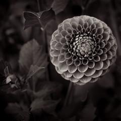 Fibonacci II (doug_r) Tags: dahlia blackandwhite bw flower washington blossom fibonacci bloom issaquah canon50mmf14 dangit 20090912 pickeringfarm img9388 redburgundy itisisntit canon5dmkii c2009 pacificaphotography bwconvagefxagfa100tiptpt rosenoffphotographyllc allrightsreservedpacificaphotography atduskonatripod 16sexposure hardertoconverttobwthanithought gottalovethegeometry sortofanoddlylatinflowersoregularinnearlyeveryway isthiscroptootightgrrrrr lookslikeareworkatsomepointbeforeiprintit revisedadnreuploadedon14october2009