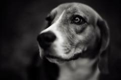 [フリー画像] [動物写真] [哺乳類] [イヌ科] [犬/イヌ] [ビーグル犬]      [フリー素材]