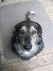Here's Looking at You (C. Lambert) Tags: dog chien cross australianshepherd bernesemountaindog mixedbreed