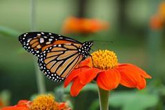 Rest Stop (jaho326) Tags: orange flower butterfly monarch zinnia butterflymigration harknessmemorialstatepark brillianteyejewel ubej