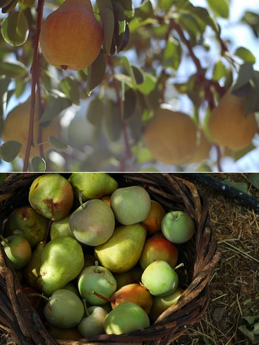 Pear Harvest Diptych