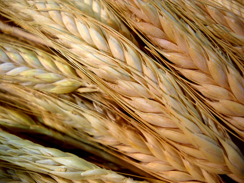 334: Wheat
