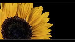 Here comes the Sun! (edmundlwk) Tags: flower macro yellow flash sunflower ef100mmf28 speedlite offcamera strobist vivitar285hv canon450d 430exii rebelxsi cactusv4s edmundlim