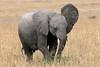 What did you say? (ejhrap) Tags: africa baby elephant kenya ears mara trunk calf africanelephant tusk masaimara odt