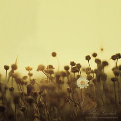 dusty dawn () Tags: light summer flower andy landscape golden warm estate andrea andrew dreamy f2 fiore luce paesaggio sogno caldo benedetti dorata nikond90