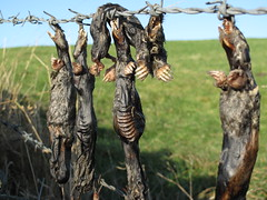 Hangman: dead moles hanging on barbed wire fence