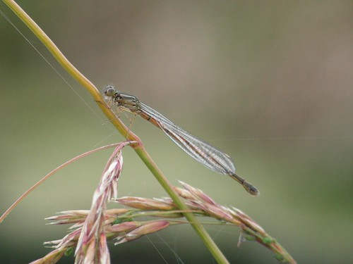 Damselfly perched on grass