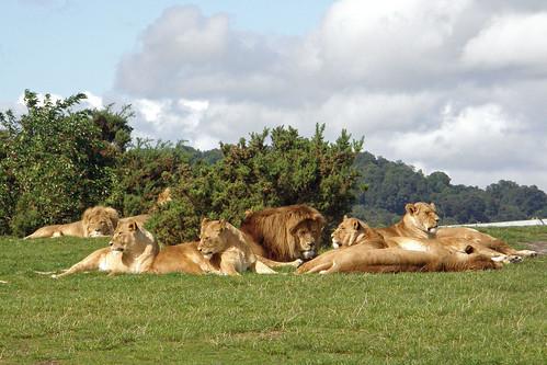 african lion pride. Lion pride. African lions
