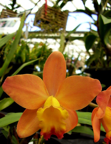 orange crushin orchid