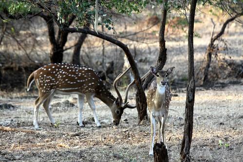 Low 2009-11-29 Sasan Gir - 01 Safari 18