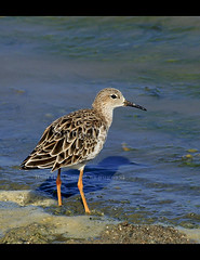 Birds of Sri Lanka , Species No 59 (Sara-D) Tags: wet reserve biosphere unesco land migratory ruff wetland eurasia ramsar philomachuspugnax philomachus pugnax scolopacidae bundala unescobiospherereserve fbdg thewonderfulworldofbirds ramsarwetland